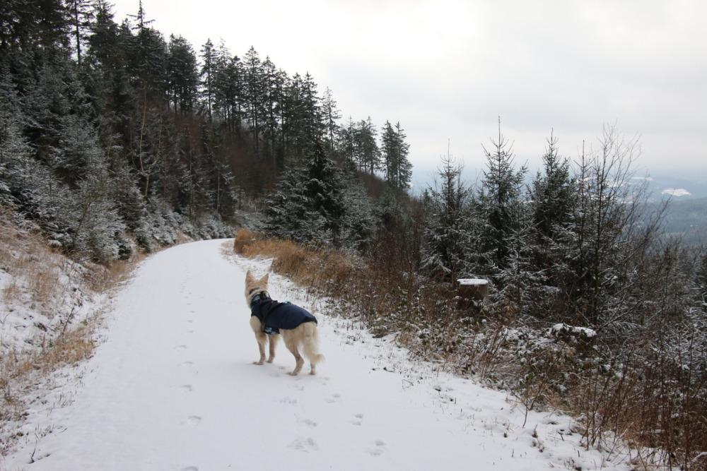 Barney im Mantel bei einer Wanderung durch den verschneiten Harz.